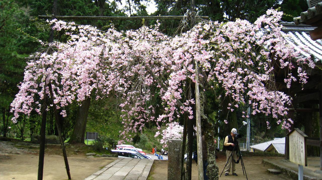 境内の隅屋桜